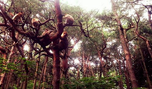 macaques_barbarie_kintzheim_magots